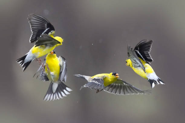 Gold finches flying and fighting Gold finches flying and fighting for territory and food american goldfinch stock pictures, royalty-free photos & images
