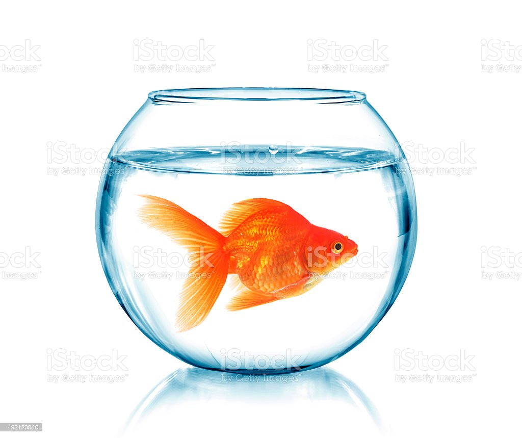 Gold fish in a fishbowl stock photo