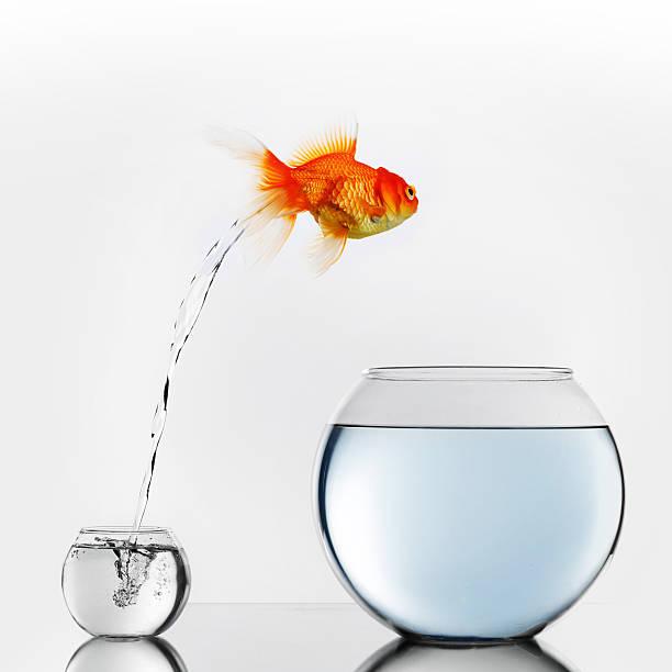 Gold fish jumping to big fishbowl stock photo