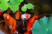 gold fish on small pond on beautiful small garden