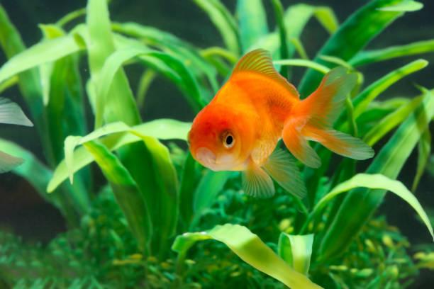 Yeşil bitki ile taze akvaryum tankı sualtı yüzerken altın balık veya Goldfish yüzen. stok fotoğrafı
