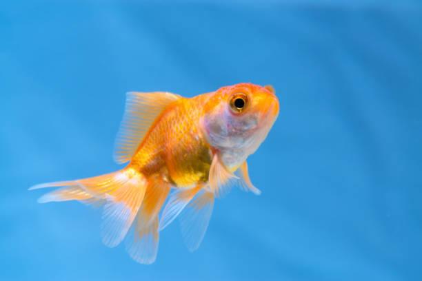 Taze akvaryum tankında sualtı yüzen altın balık veya Goldfish. stok fotoğrafı