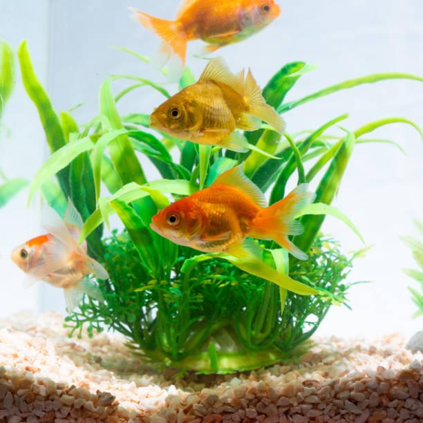Altın balık veya japon balığı yeşil bitki ile tatlı akvaryum tankında sualtı yüzen. stok fotoğrafı