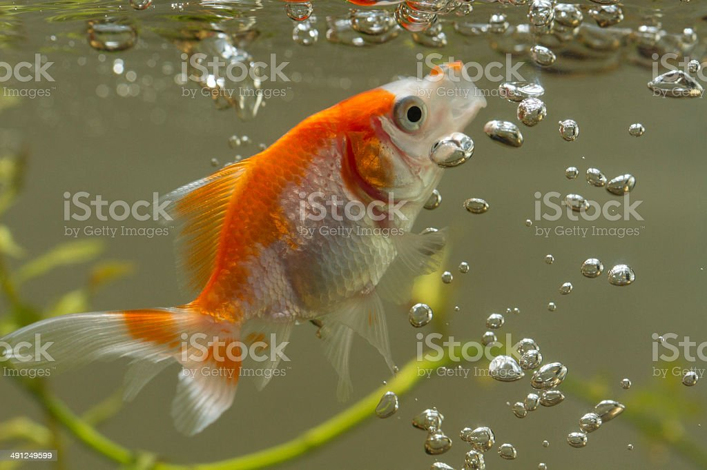 Gold fish with open lips and balloons stock photo