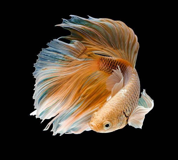 gold fish,Betta fish stock photo