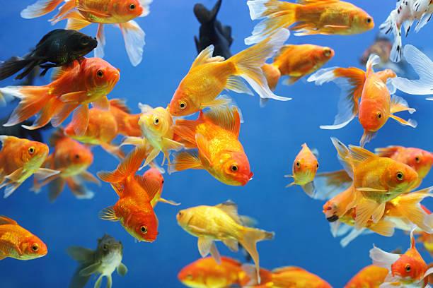 or poissons - poisson rouge photos et images de collection