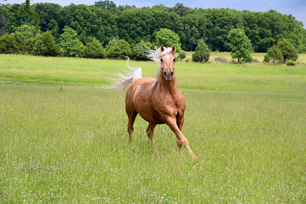 Gold Horse Palomino Horse Running paint horse stock pictures, royalty-free photos & images