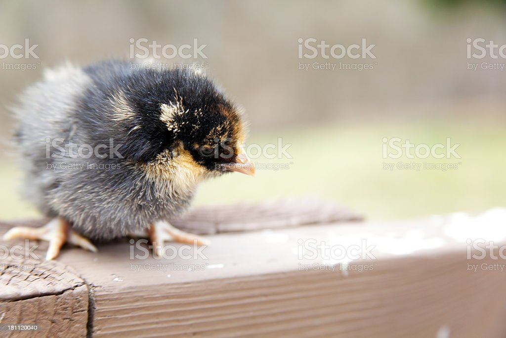 Gold Laced Wyandotte baby chick chicken perched on a Rail royalty-free stock photo