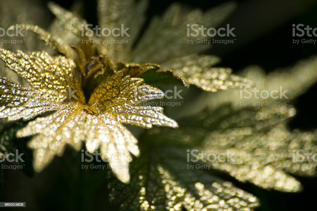 Gold leaf on dark background royalty-free stock photo