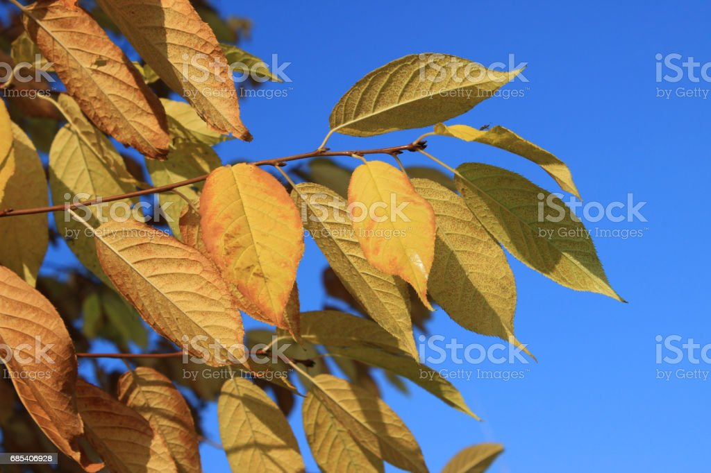 Gold leaves of bird-cherry tree against blue sky foto de stock royalty-free