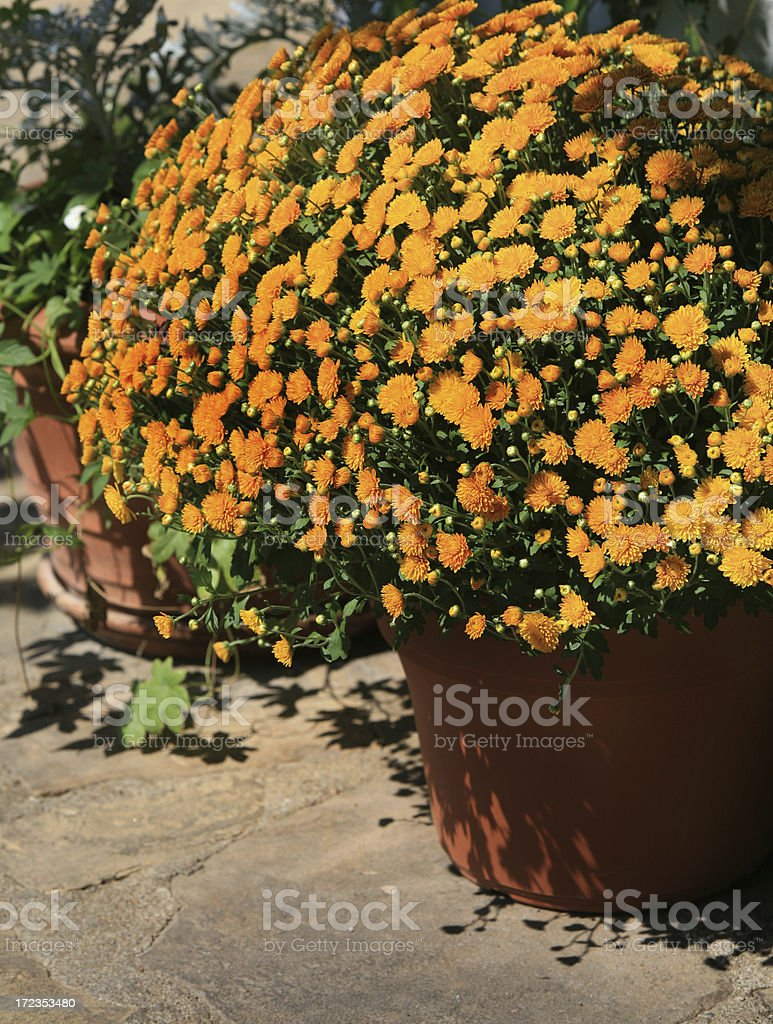 Gold Mums in Autumn royalty-free stock photo