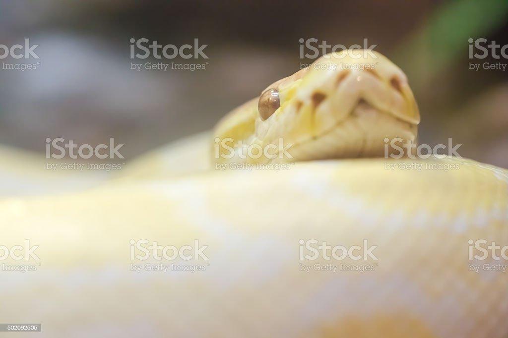 Gold Python royalty-free stock photo