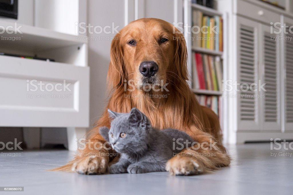 Gold retriever and gray kitten - foto de acervo
