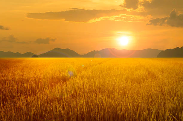 gold rice field and mountain at sunset gold rice field and mountain at sunset rice paddy stock pictures, royalty-free photos & images