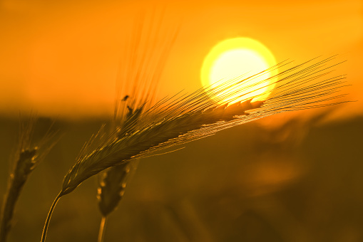 Gold spikelets of ripe wheat in the sun at dawn with a soft focus and a blurry soft background.