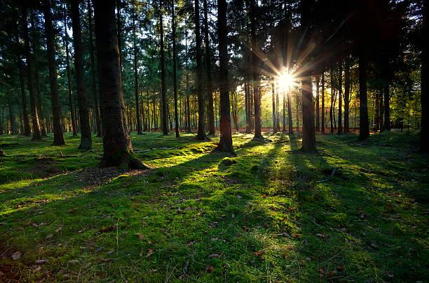 goldene sonnenstrahlen in coniferous forest - sternmoos stock-fotos und bilder