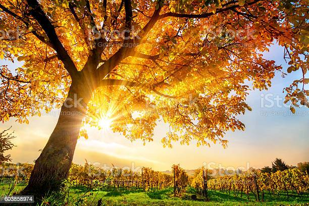 Photo of Gold tree on a vineyard in autumn