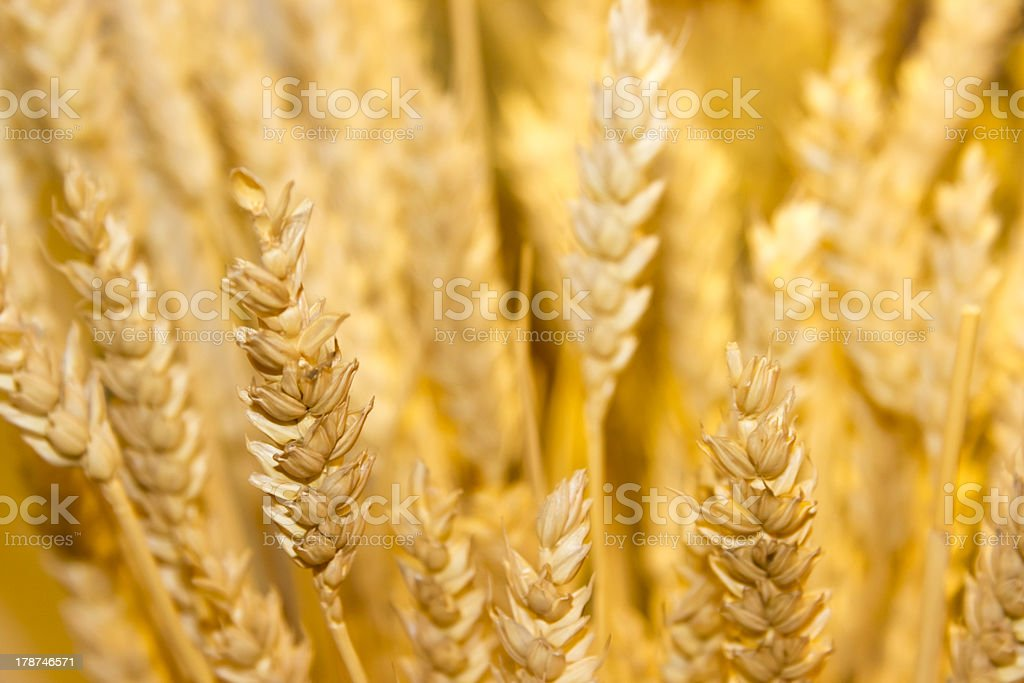 gold wheat ears background royalty-free stock photo