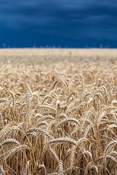 Gold Weizen Feld vor dem Sturm – Foto