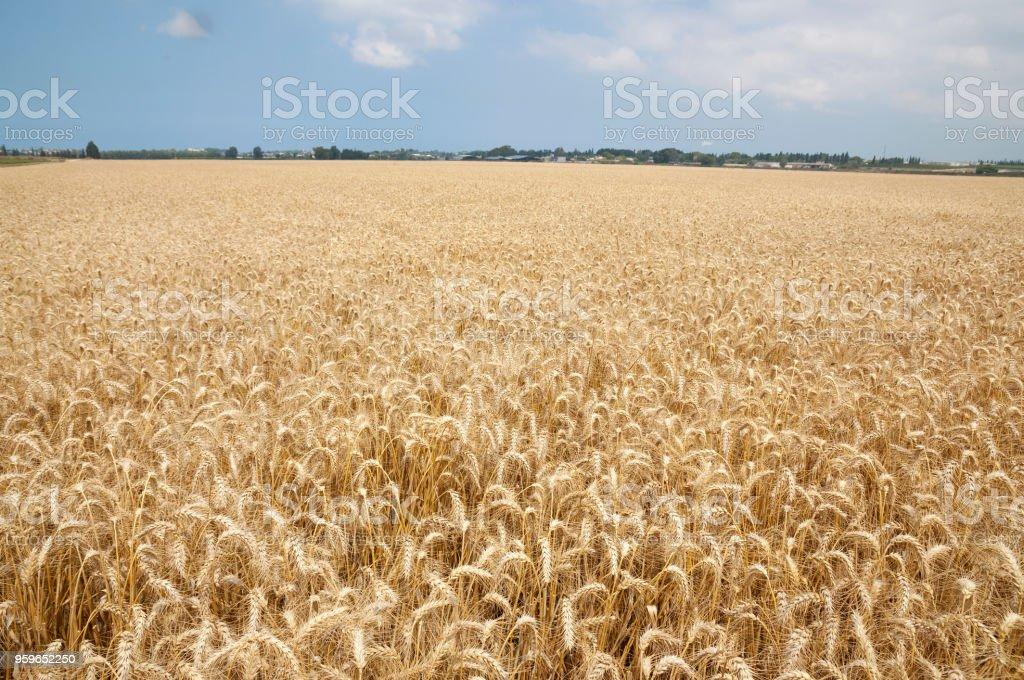 Campo de trigo de oro - Foto de stock de Agricultura libre de derechos