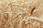Gold wheat on field in warm sunlight. Sunshine and ears of wheat. Rich harvest concept. Selective focus.