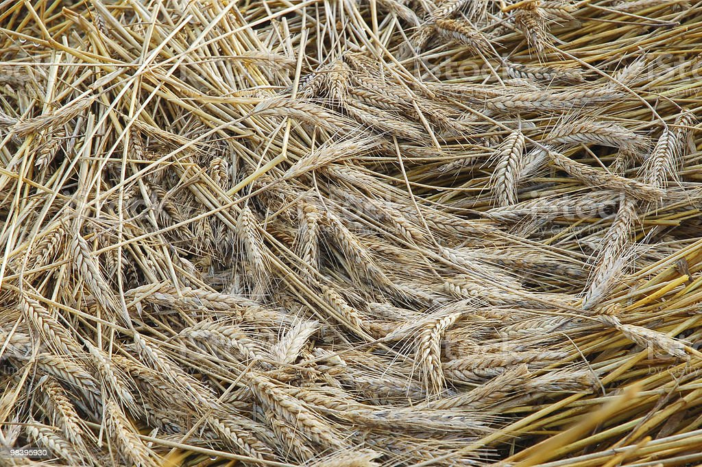 Gold wheat royalty-free stock photo