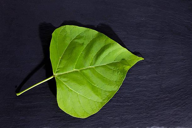 gold-catalpa, catalpa aurea, leaf on slate - trompetenbaum stock-fotos und bilder