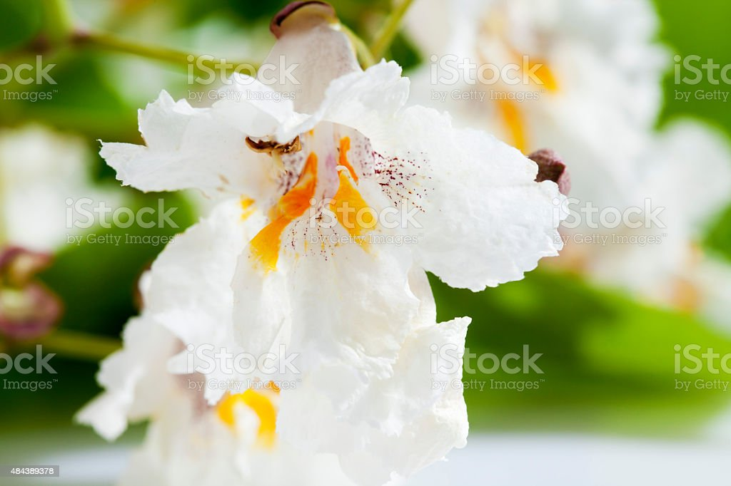 Gold-Catalpa, Catalpa aurea, leaves and blossoms stock photo