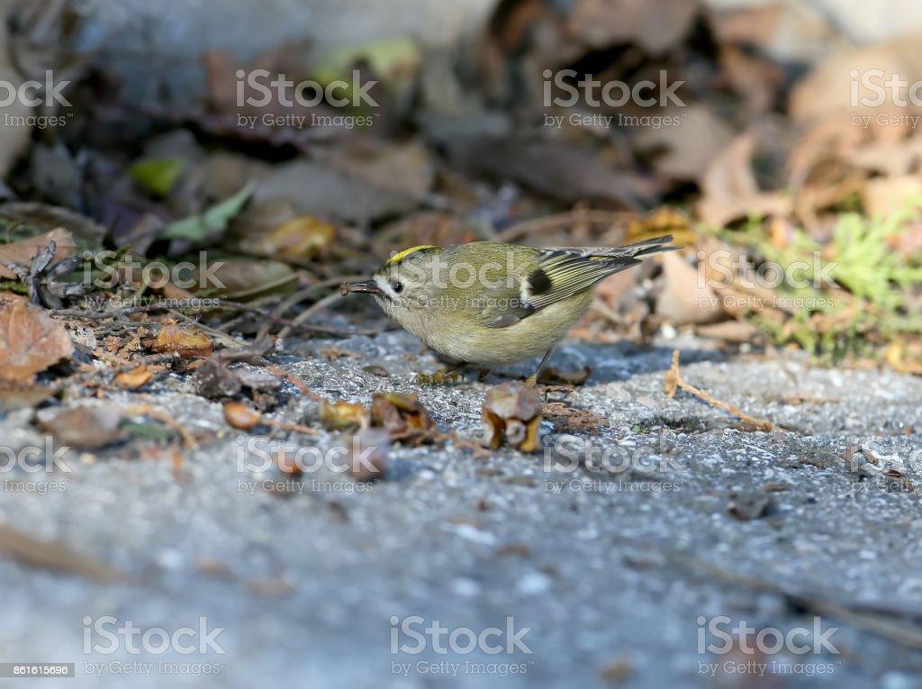 A goldcrest feeding on the ground stock photo