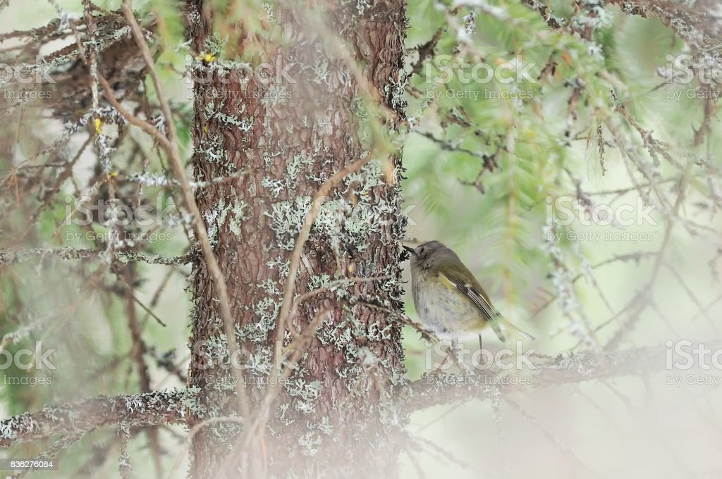 Goldcrest hanging on the branch of spruce stock photo