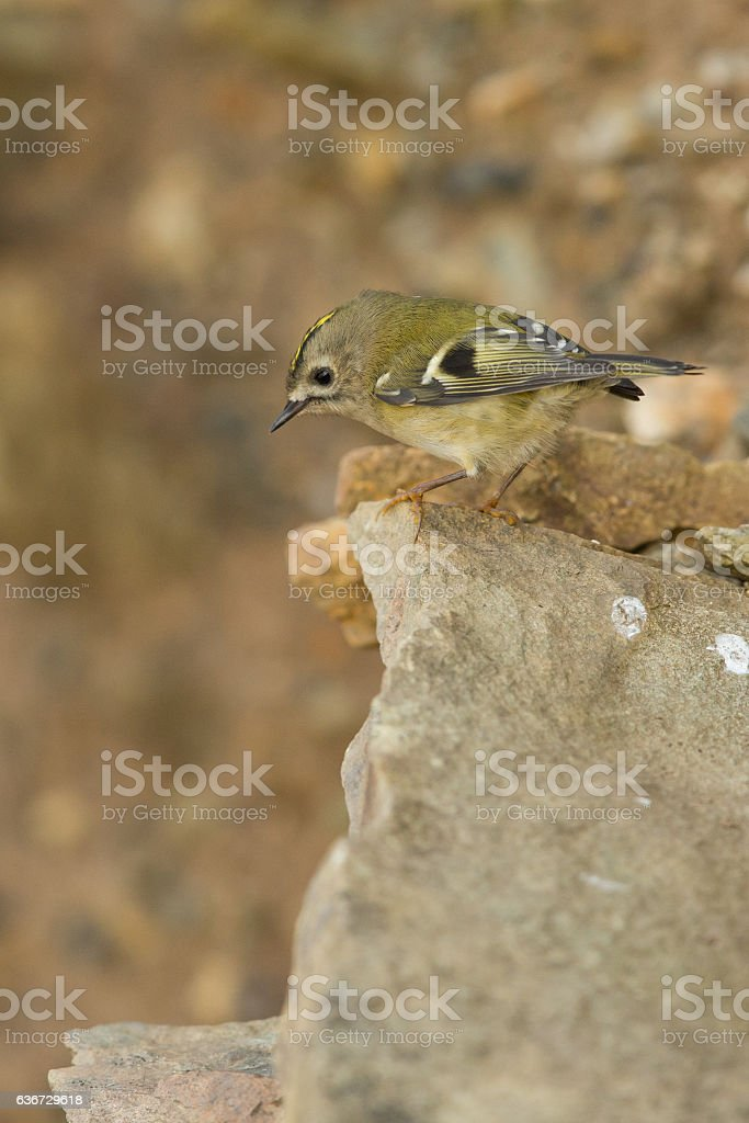 Goldcrest looking over clifftops. stock photo