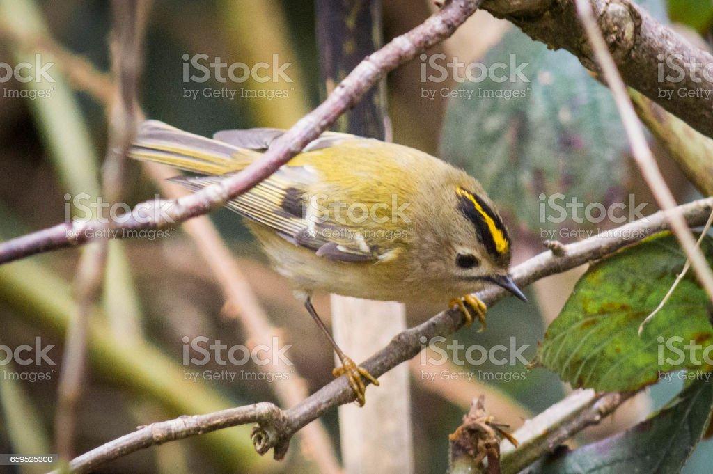 Goldcrest on a branch stock photo