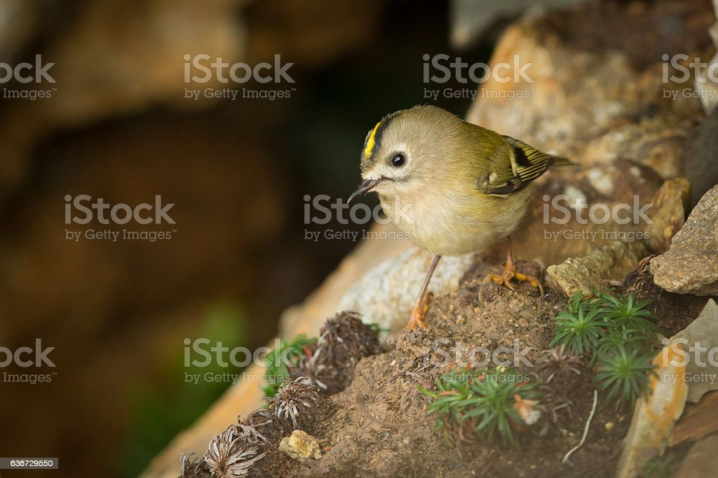 Goldcrest on a cliff top. stock photo