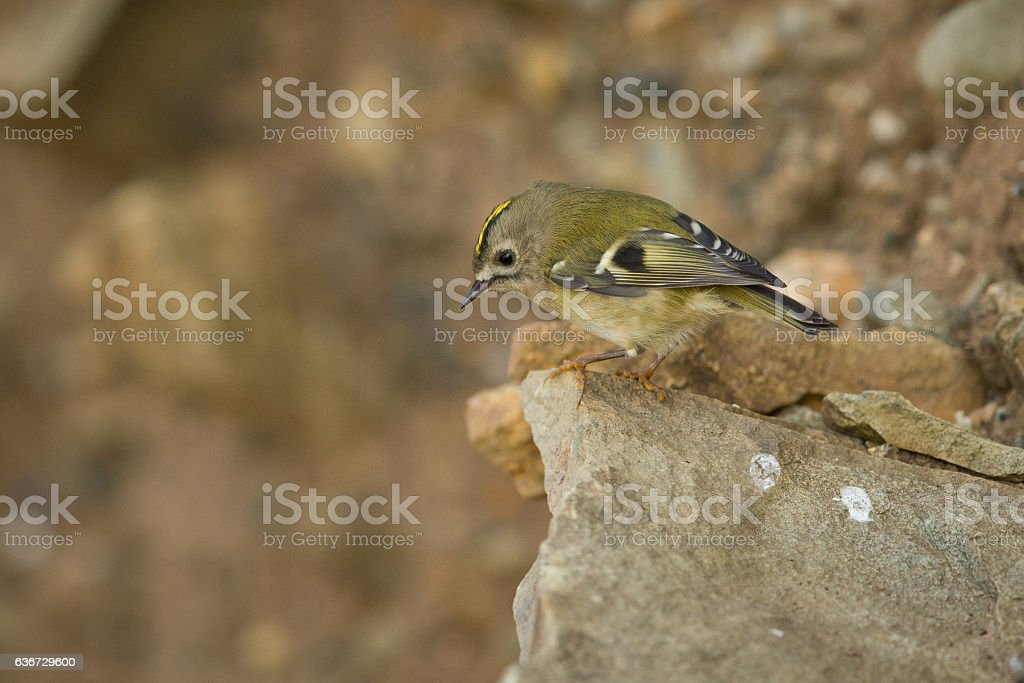 Goldcrest on a clifftop rock. stock photo