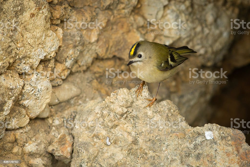 Goldcrest on a rock on top of cliffs. stock photo