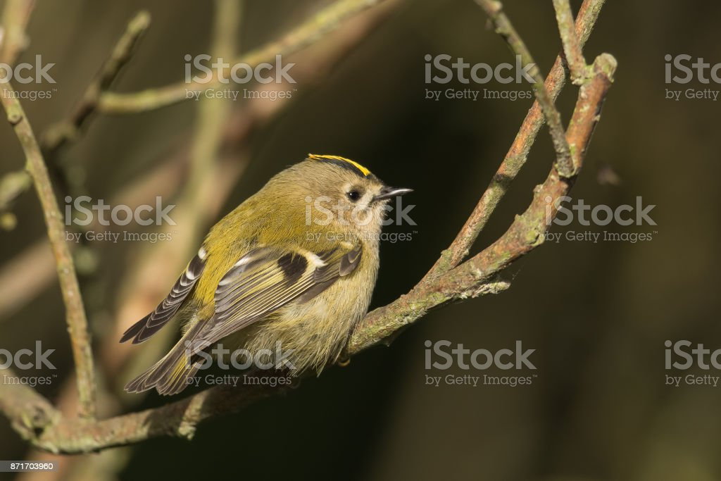 Goldcrest perched on a branch stock photo