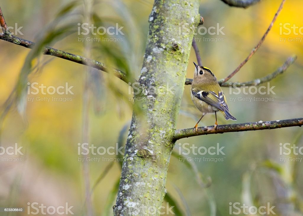 Goldcrest (Regulus Regulus) stock photo