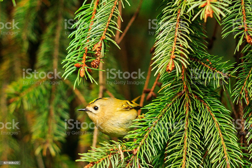 goldcrest ,Regulus  among the pine branches stock photo
