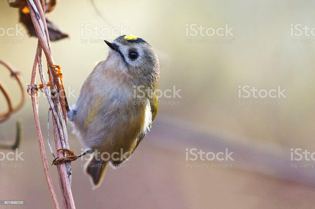 goldcrest ,Regulus sitting on a branch in backlit stock photo