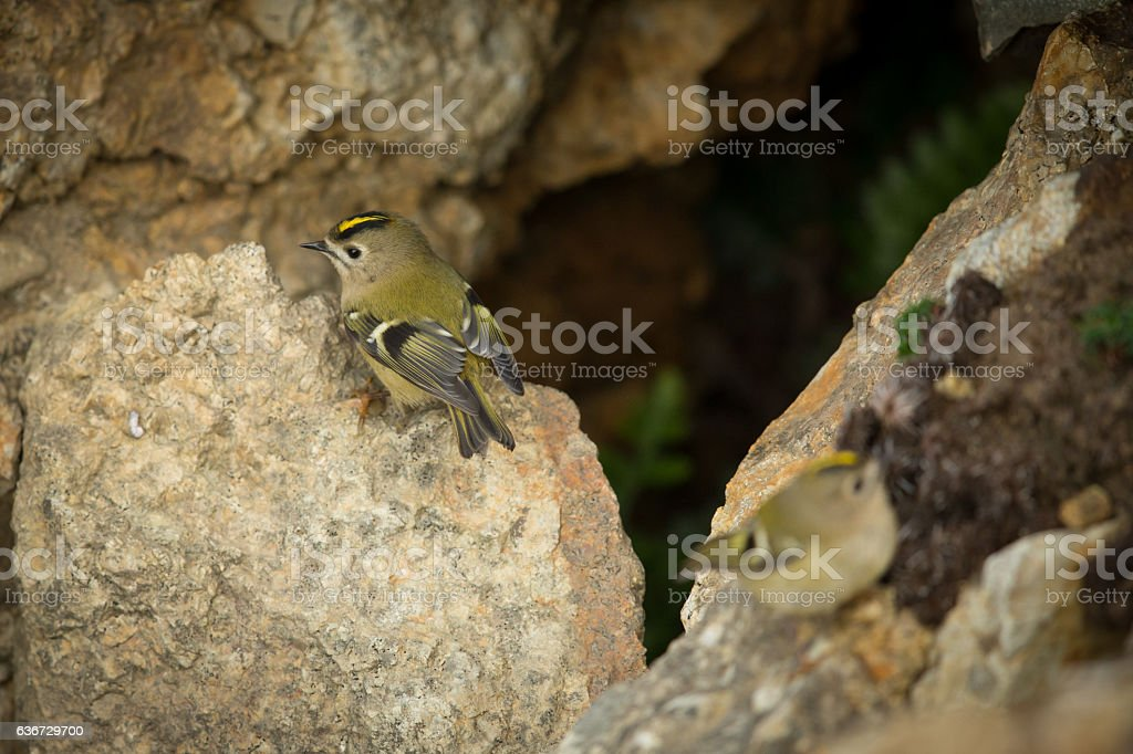 Goldcrests on clifftops. stock photo