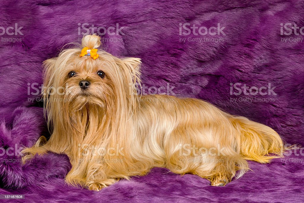 Golddust Yorkshire Terrier On Purple Fur Stock Photo More Pictures