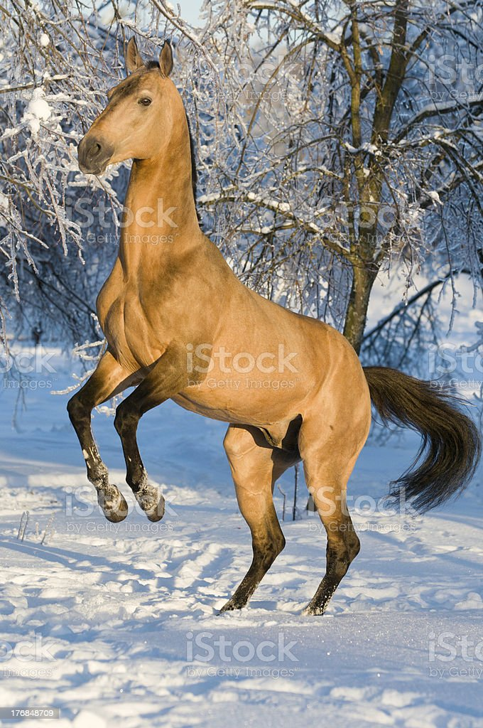 golden akhal-teke horse portrait royalty-free stock photo