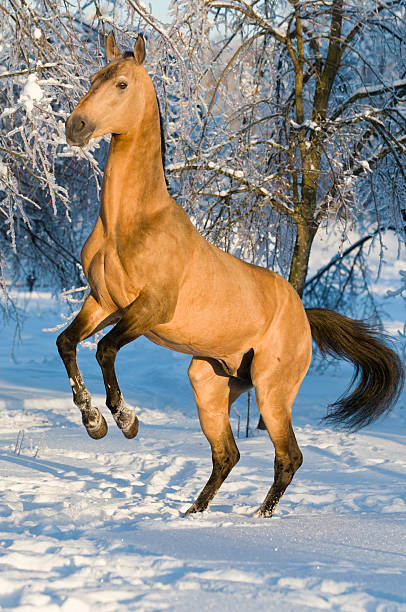 golden akhal-teke pferd porträt - akhal teke stock-fotos und bilder