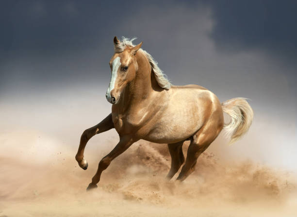 golden akhal-teke horse running in desert golden akhal-teke horse running in desert palomino stock pictures, royalty-free photos & images