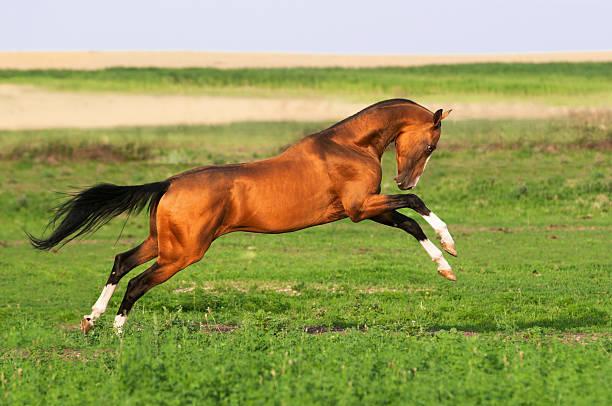 golden akhal-teke horse runs gallop stock photo