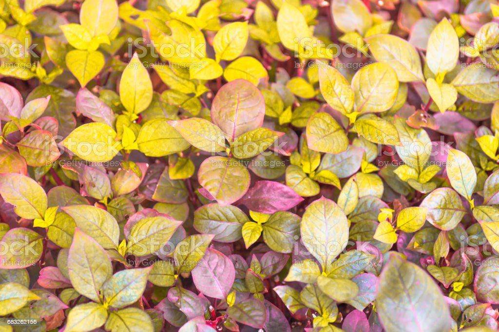 Golden and violet leaves background Lizenzfreies stock-foto