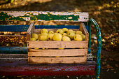 Golden apples in vintage wooden box on the colorful bench. Ripe yellow fruits harvest in an old crate. Autumn and diet concept.