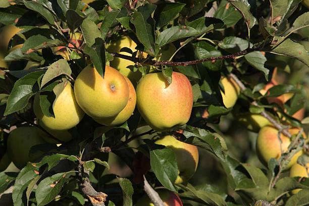 pommes golden sur tree - golden photos et images de collection