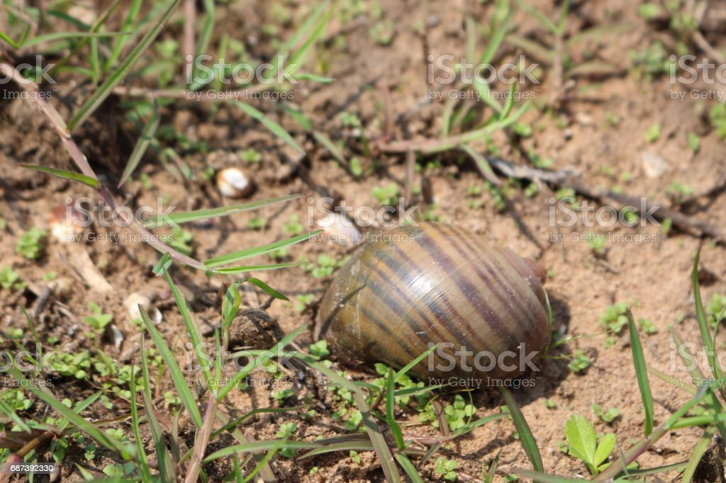 Golden applesnail has beautiful patterns in Thailand. stock photo