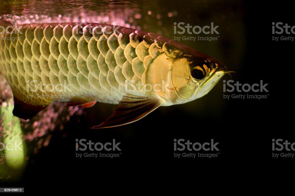 Golden arowana fish or dragon fish in fish tank isolated stock photo
